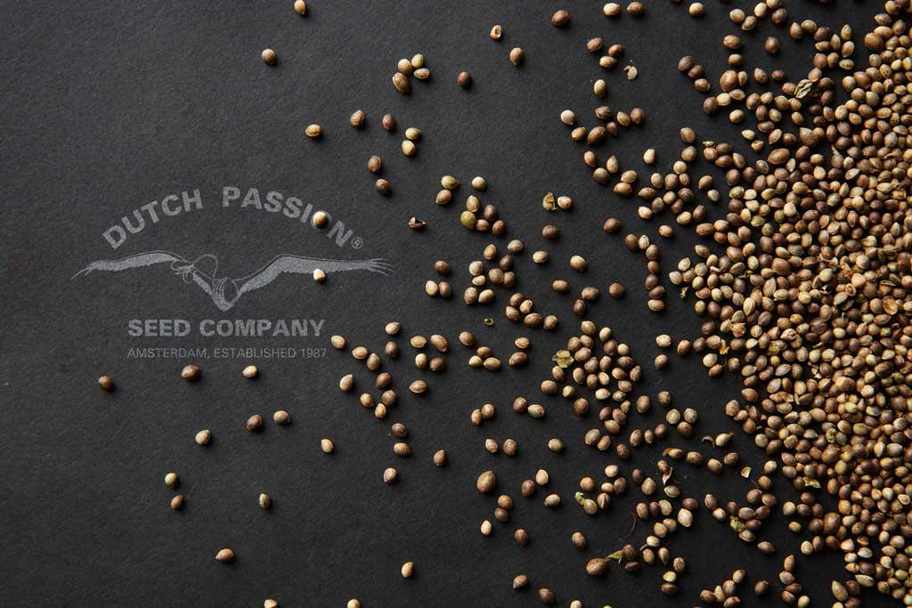 marijuana-seeds-bulk-cannabis-seed-purchase-dutch-passion