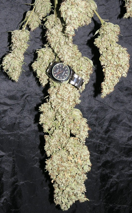 drying Ultimate plant, with a wrist watch on the bloom