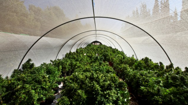 Netherlands.  Rotterdam in favour of pioneering experiments with regulated cannabis production