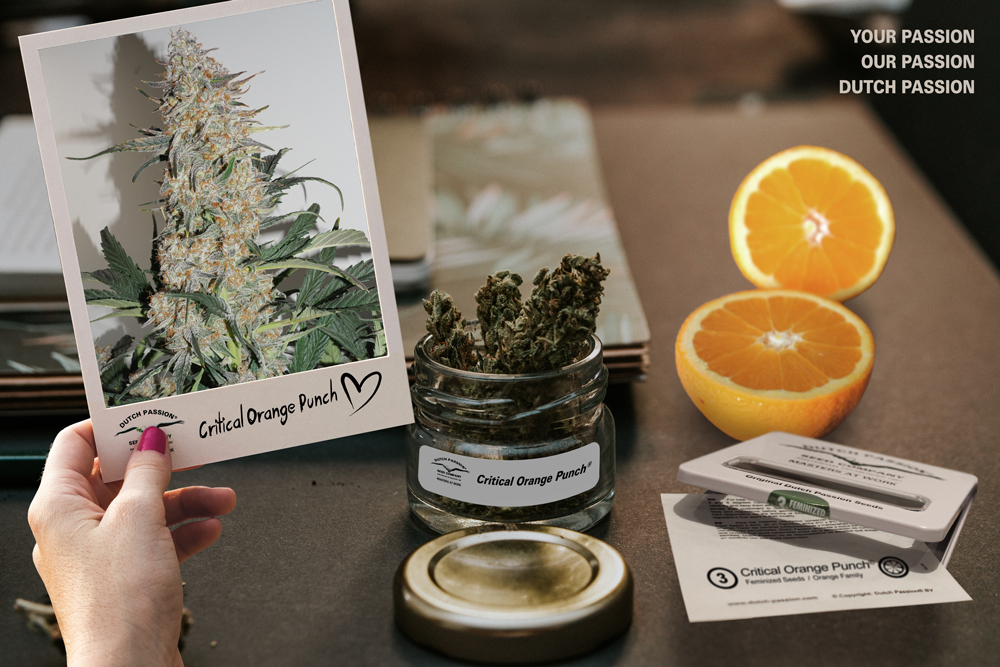 Auto Critical Orange Punch makes the High Times Top 10 varieties of 2018