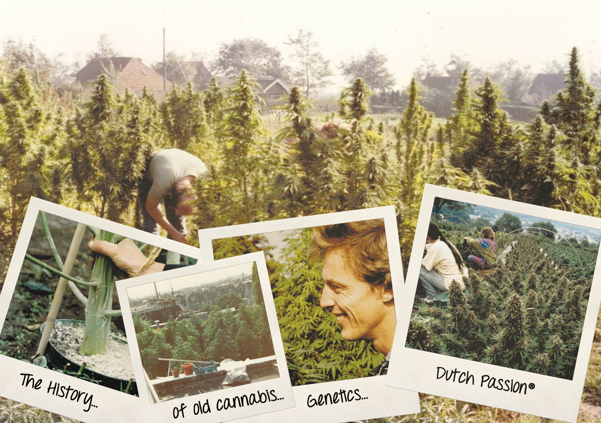 The history of old cannabis genetics