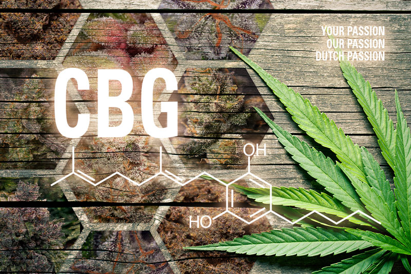 Cannabigerol. What is CBG? Growing CBG rich cannabis from seed.