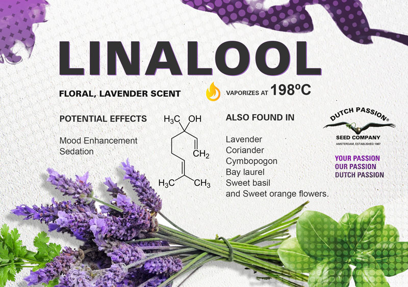 What is Linalool,and what are the effects of this terpene?
