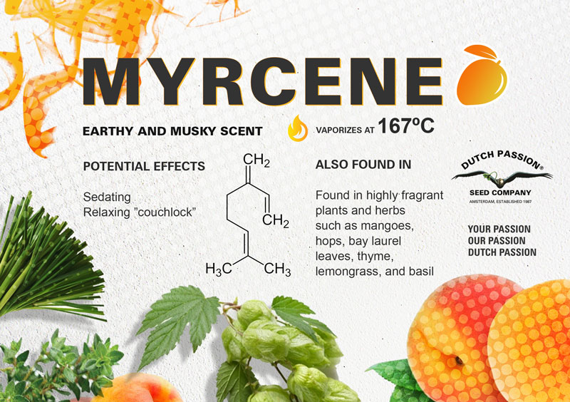 What is Myrcene and what are the effects of this terpene?