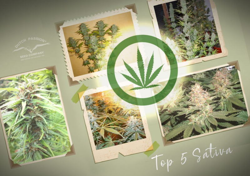 Dutch Passion's Top-5 sativa cannabis seed varieties