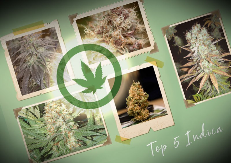 The 5 best indica strains from Dutch Passion
