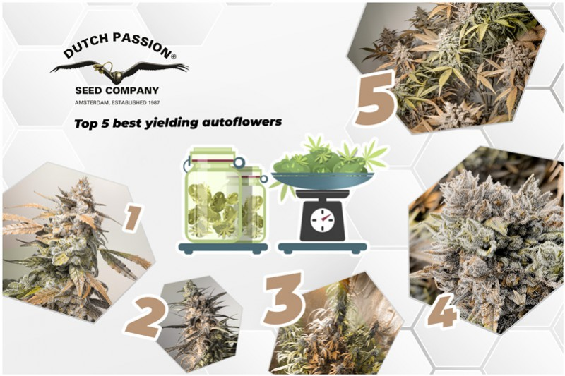 Top 5 Autoflower Seeds With Best Yields