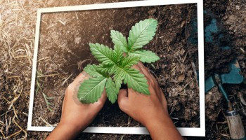 Top 5 strains to grow in small spaces