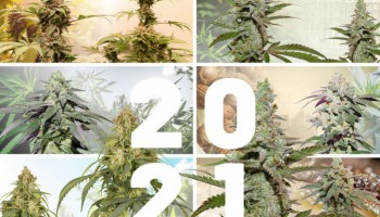 4 new weed strains to discover in 2021