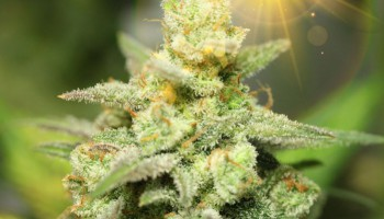 Top 5 most popular Kush strains