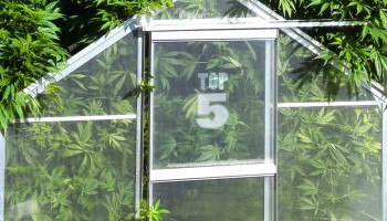 Top 5 strains to grow in a greenhouse