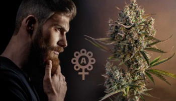 The untold story of autoflowering cannabis strains