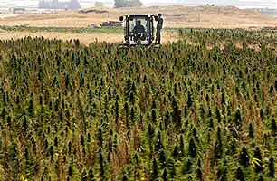 Lebanon: Many farmers prefer to earn $5,000 a month with cannabis than $ 1,000 with legal crops