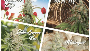 New USA Dutch Passion cannabis seeds for 2019
