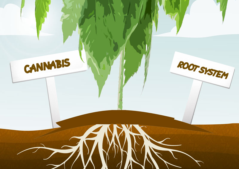 Cannabis roots. Healthy cannabis roots means healthy cannabis plants.