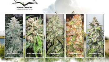 The Top-5 Dutch Passion autoflower strains