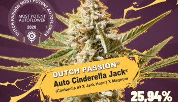 Auto Cinderella Jack, strongest autoflower on earth with over 25% THC