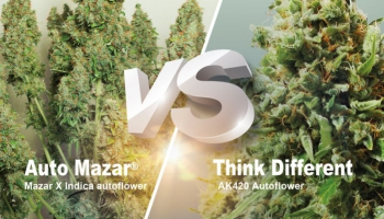 Auto Mazar vs. Think Different, ¿qué variedad autofloreciente es mejor para ti?