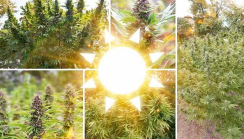 Top 5 outdoor cannabis strains