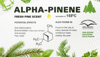 What is Alpha pinene? Uses and effects of this terpene found in cannabis