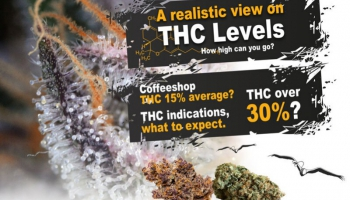 What is a high amount of THC for cannabis?