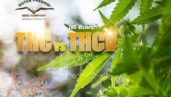 THCV vs THC: What are their uses and differences?
