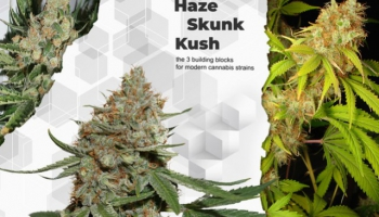 Haze, Skunk and Kush, the 3 building blocks for modern cannabis strains