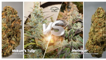 Mokum's Tulip vs Meringue: which feminised strain is best for you?