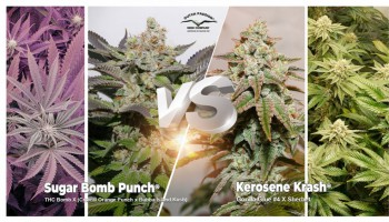 Kerosene Krash vs Sugar Bomb Punch: which feminised strain is best for you?