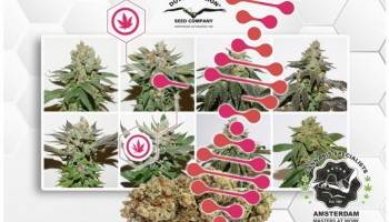 Understanding cannabis phenotypes, genotypes and chemotypes