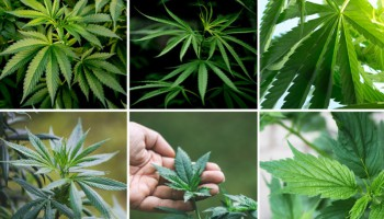 Understanding and using cannabis leaves