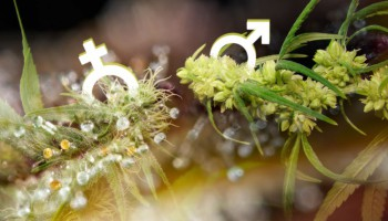 Sexing Cannabis: How to tell if your plant is male or female?