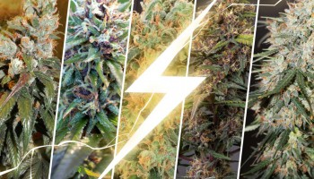 Top 5 fast growing cannabis seeds